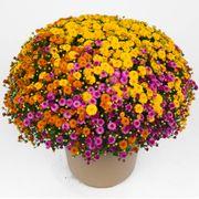 Blooming Block Gigi™ Acorn Lane™ Color My Fall™ Mum Mix Thumb
