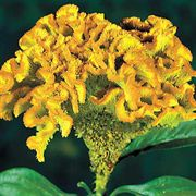 Bombay Yellow Gold Cockscomb Seeds