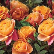 Disneyland® 24-inch Tree Rose