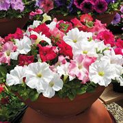Aladdin Cherry Morn Mix Petunia Flower Seeds