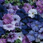 Aladdin Nautical Hybrid Mix Petunia Flower Seeds