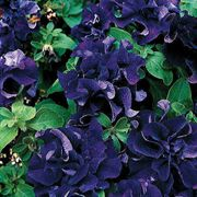 Double Cascade Blue Hybrid Petunia Flower Seeds