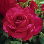 Voluptuous! Hybrid Tea Rose