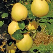 Crimea™ Russian Quince Tree