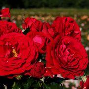Bordeaux™ Citiscape® Floribunda Rose