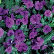 First Kiss Blueberry Vinca Flower Seeds
