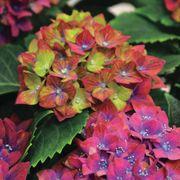 Pistachio Hydrangea