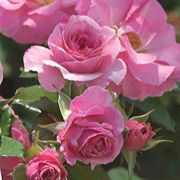 Kimberlina Floribunda Rose