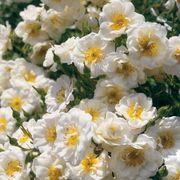 Blossom Blanket™ Groundcover Rose