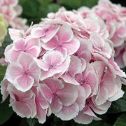 Next Generation Wedding Ring Hydrangea