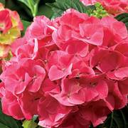 Next Generation® Red Sensation Hydrangea