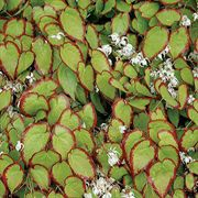 Cherry Hearts Epimedium
