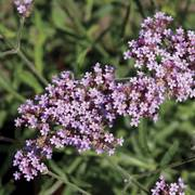 Lollipop Verbena image