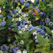 BrazelBerry® Jelly Bean Blueberry