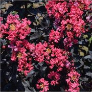 Midnight Magic Crapemyrtle