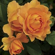 Honey Perfume Floribunda Rose