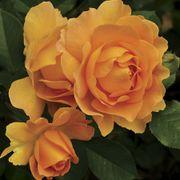 Honey Perfume™ Floribunda Rose