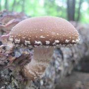 Mushroom Shittake Log Spawn Plugs (100)