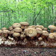 Mushroom Shiitake Fruiting Kit