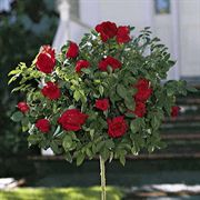 Black Cherry™ 24-inch Tree Rose