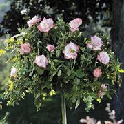 Crescendo™ 36-inch Tree Rose