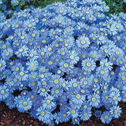 Blue Knoll Heteropappus Flower Seeds