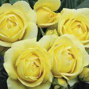 Walking On Sunshine Floribunda Rose image