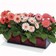 Crush Mix Gerbera Daisy Seeds