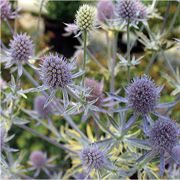 Jade Frost Sea Holly