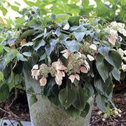 Rose Sensation™ False Climbing Hydrangea