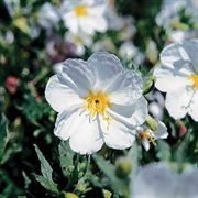 Innocence Evening Primrose Seeds