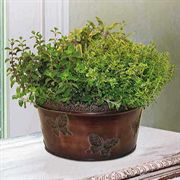 Herb Trio Gift Plant in Copper Butterfly Tin