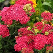 Saucy Seduction™ Achillea