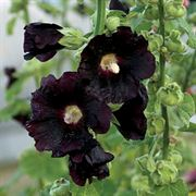 Blacknight Hollyhock