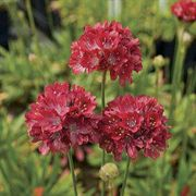 Ballerina Red Thrift