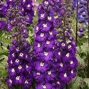 Purple Passion Delphinium