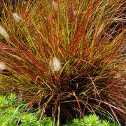 Burgundy Bunny Fountain Grass Alternate Image 3
