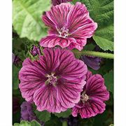 Purple Satin Malva Plant