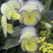 'Etain' Violet image