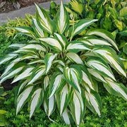 Hosta Cool as a Cucumber