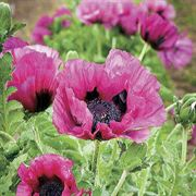 Plum Pudding Oriental Poppy