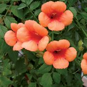 Indian Summer Trumpet Vine