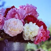 Bushel of Blooms Peony Mix - Pack of 5