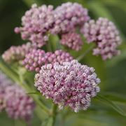 Asclepias incarnata Cinderella - Pack of 3 Plants