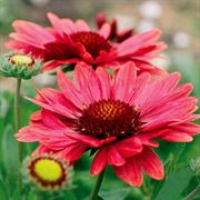 Gaillardia 'Arizona Red Shades' image