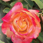 Summer Nights 24-inch Tree Rose