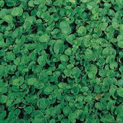 Dichondra micrantha Ground Cover Seeds
