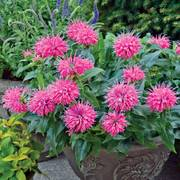 Pardon My Pink Bee Balm
