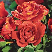 Laura Bush Floribunda Rose