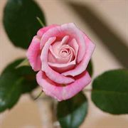 Jilly Jewel Miniature Rose